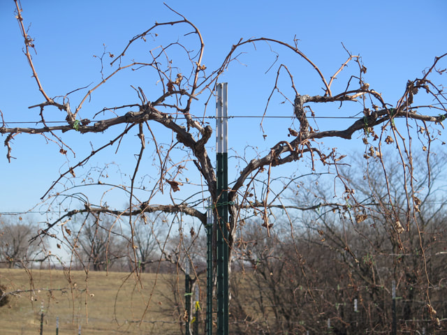 Grapevine Training And Pruning Fence Stile Vineyards Winery